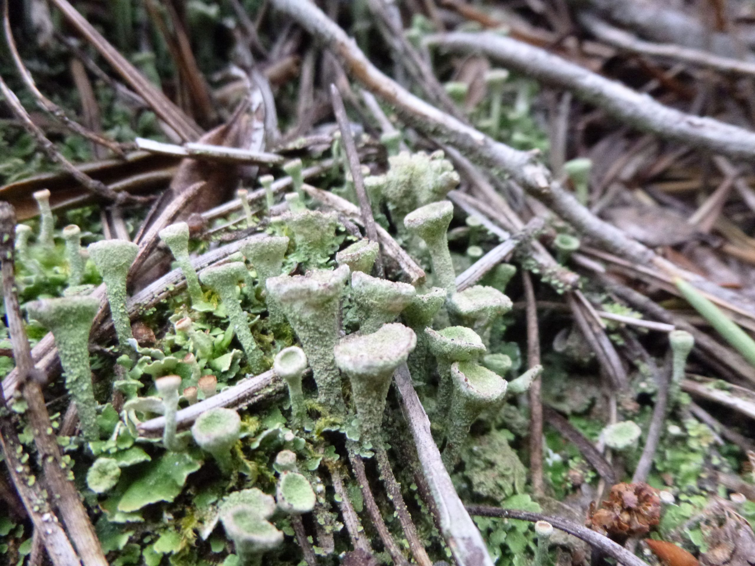 Pixie Cup Lichen, a type of lichen that looks like little bowls on tall stalks.