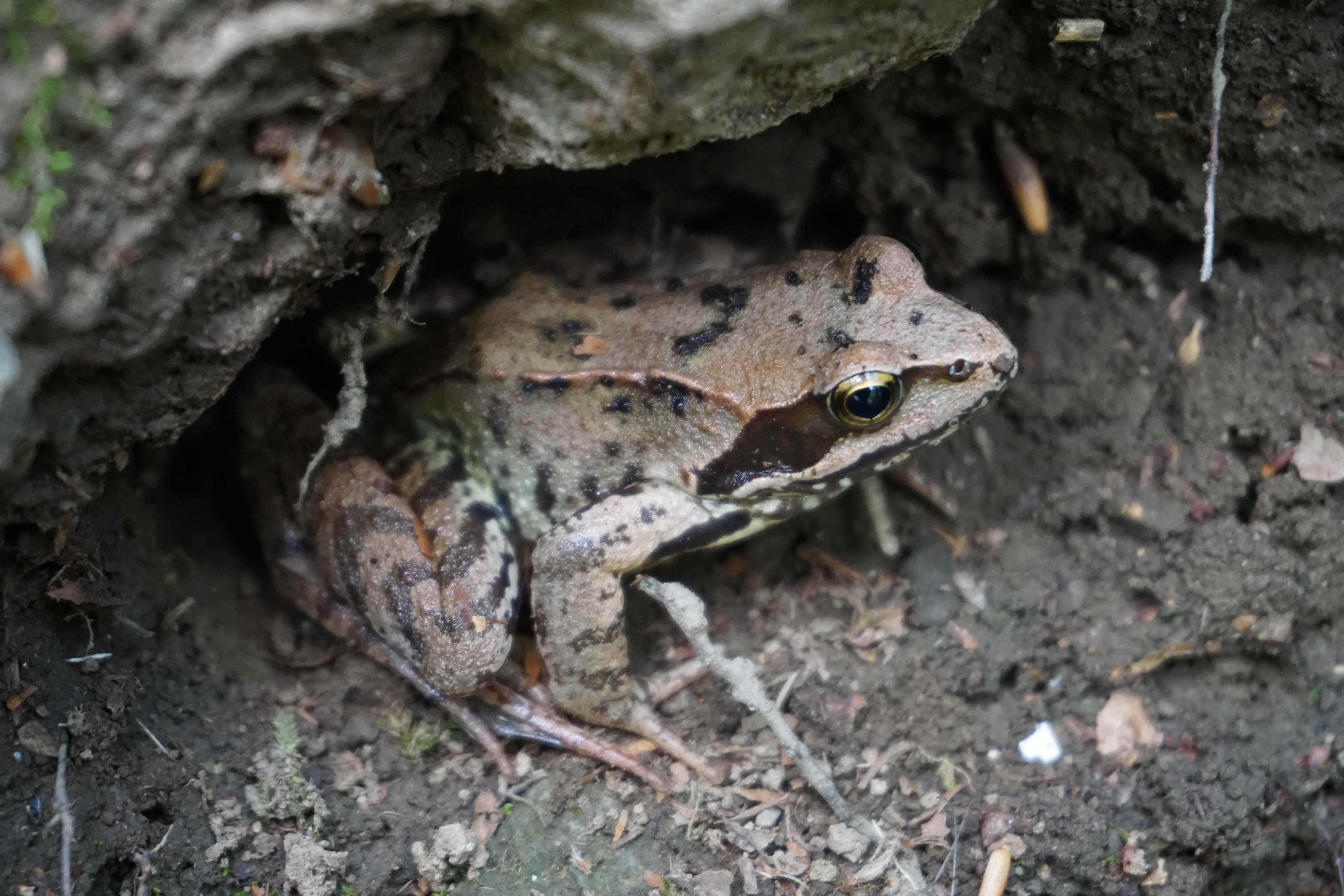 Large toad crouching under a mossy bank in the mud