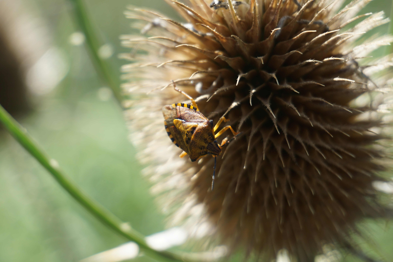Shield Stink Bug on a spiky thistle pod.